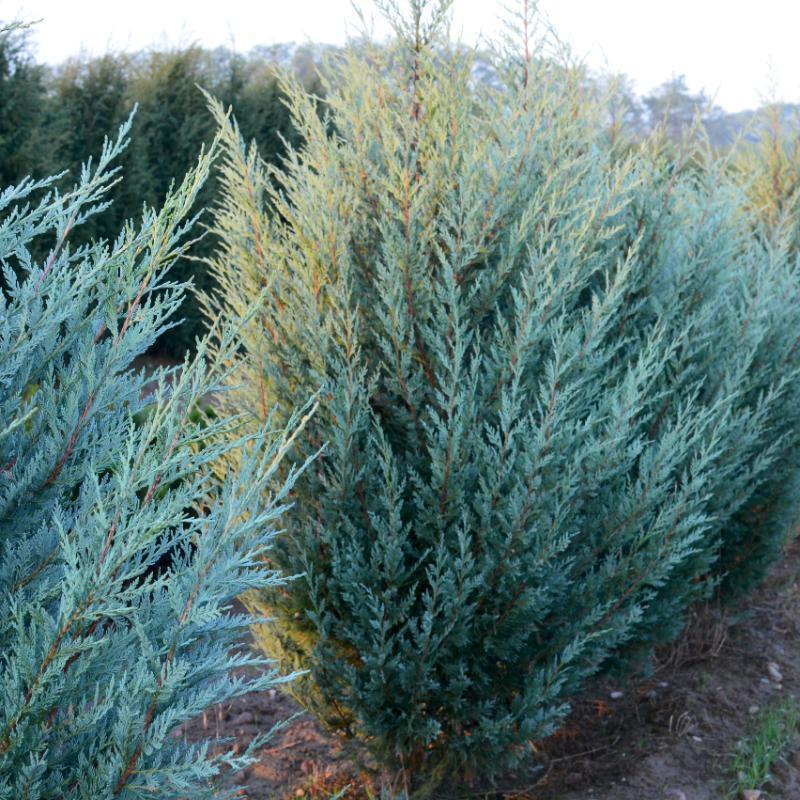 Ялівець скельний Moonglow 3 річний, Можжевельник скальный Мунглоу, Juniperus scopulorum Moonglow