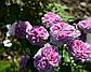 Парфум Фловер Циркус (Parfum Flower Circus), фото 3