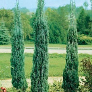 Ялівець скельний Skyrocket 3 річний, Можжевельник скальный Скайрокет, Juniperus scopulorum Skyrocket, фото 2