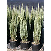Ялівець скельний Skyrocket 3 річний, Можжевельник скальный Скайрокет, Juniperus scopulorum Skyrocket, фото 3