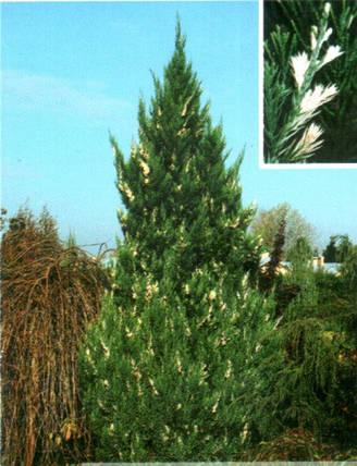 Ялівець китайський Stricta Variegata 2 річний, Можжевельник китайский Стрикта Вариегата, Juniperus chinensis, фото 2