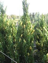 Ялівець китайський Stricta Variegata 2 річний, Можжевельник китайский Стрикта Вариегата, Juniperus chinensis, фото 3