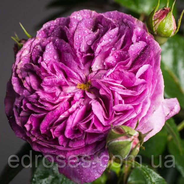 Парфум Фловер Циркус (Parfum Flower Circus)