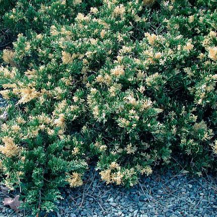 Ялівець китайський Expansa Variegata 3 річний, Можжевельник китайский Экспанса Вариегата, Juniperus chinensis, фото 2