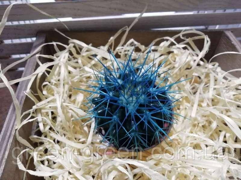 Кактус Реймбол Turquoise