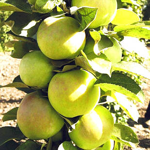 Саджанці колоновидної Яблуні Малюха - літнього терміну, солодка, невибаглива, скороплодная