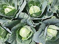 Семена капусты белокачанной Ксена F1 (1000семян) Libra Seeds (Erste Zaden)
