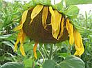 Семена подсолнечника Украинский F1 (стандарт)