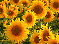 Семена подсолнечника Украинское солнышко (90-95 дн) гибрид на пожнивный посев, фр.экстра(m1000>65г)