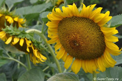 Семена подсолнечника Солнечное настроение (экон.)