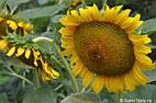 Семена подсолнечника Солнечное настроение (станд.)