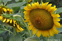 Семена подсолнечника Солнечное настроение (98-103 дн) гибрид толерантный к гранстару, фр.эконом (m1000<50г)
