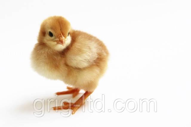 Суточные цыплята породы Редбро