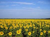Семена подсолнечника Карлос 115 (115 дн) толерантний к евролайтнингу, фр.стандарт (m1000>65г)