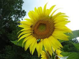 Семена подсолнечника Рембо (стандарт)
