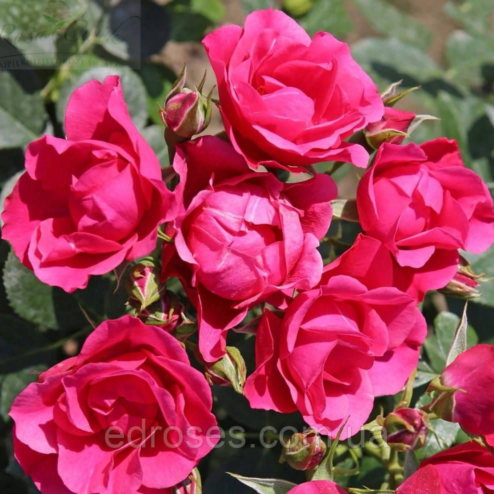 Пинк Форест Роуз (Pink Forest Rose)