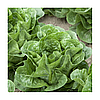 Рафаэл - семена салата тип Ромэн дражирование 1 000 семян, Rijk Zwaan