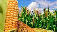 Семена кукурузы ДН Хортица ЮгАгроСервис ФАО 240, среднеранний гибрид кукурузы