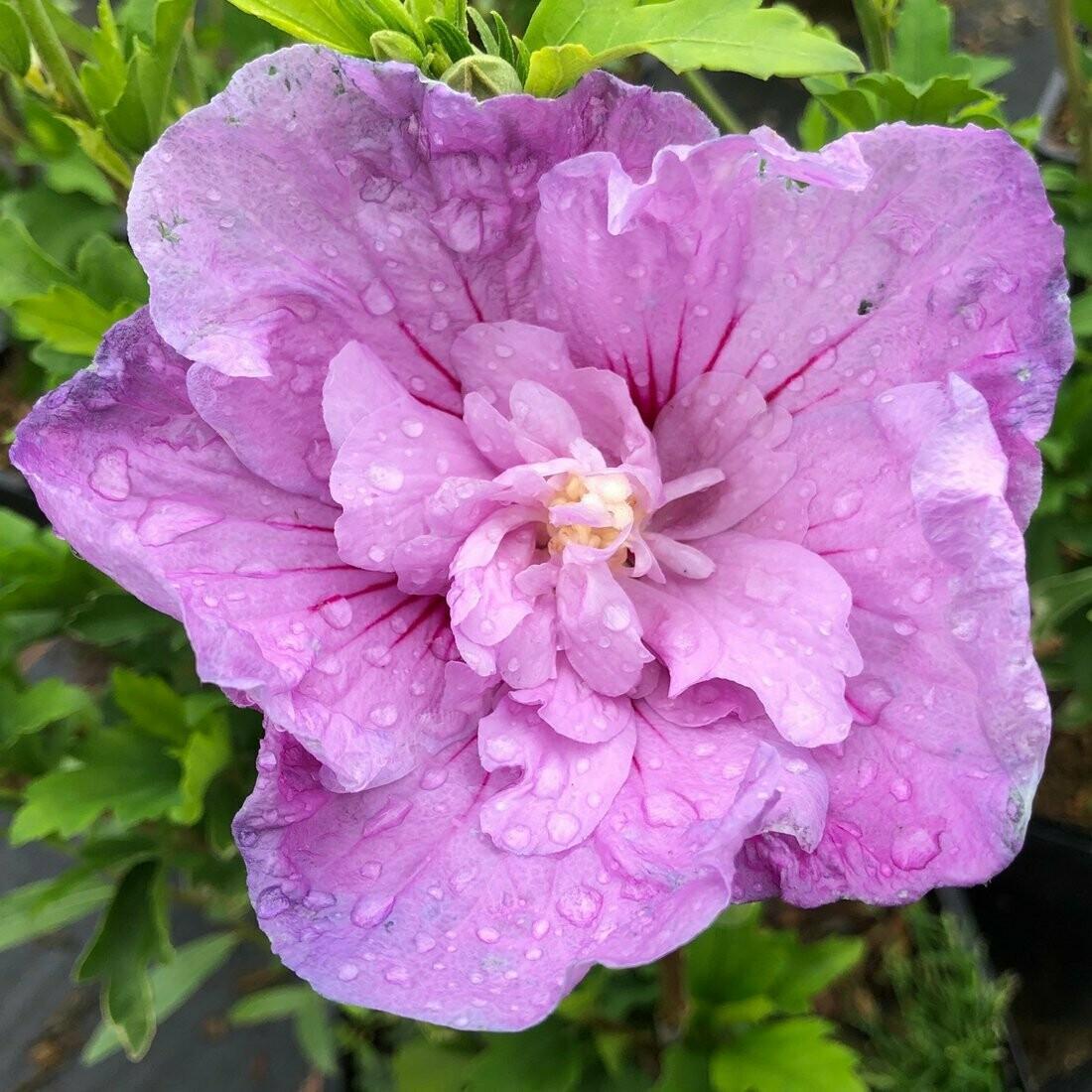 Гибискус сирийский Lavender Chiffon