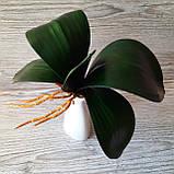 Кущ листя орхідеї великий, фото 6