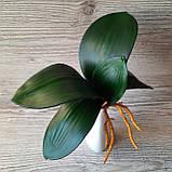 Кущ листя орхідеї великий, фото 3