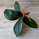 Кущ листя орхідеї великий, фото 4