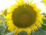Семена подсолнечника Алексей (110-115 дн) толерантен к гранстару, фр.стандарт (m1000<55г)