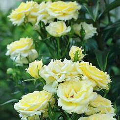 "Троянда бордюрна ""СВІТ ДРІМ КРІМ"" ('Sweet Dream Cream') / Патіо / Флорибунда / Преміум Якість"