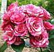 """Роза Спрей """"ПИНК ФЛЕШ"""" ('Pink Flash') / Премиум Качество, фото 4"""