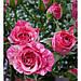"""Роза Спрей """"ПИНК ФЛЕШ"""" ('Pink Flash') / Премиум Качество, фото 5"""