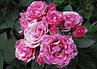 """Роза Спрей """"ПИНК ФЛЕШ"""" ('Pink Flash') / Премиум Качество, фото 7"""