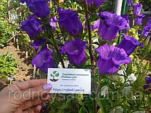 Колокоольчик кампанула семена (20 шт) (лат. Campánula persicifólia)