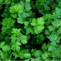 Коріандр салатний Слоуболт Професійне насіння 10 гр