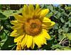 Семена подсолнечника Меркурий (110 -115 дн), фр.стандарт (m1000<55г)