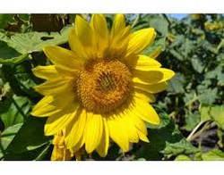 Семена подсолнечника Меркурий (стандарт)
