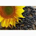 Семена подсолнечника Ясон (108 дн) гибрид масличного направления, стойкий к загущению