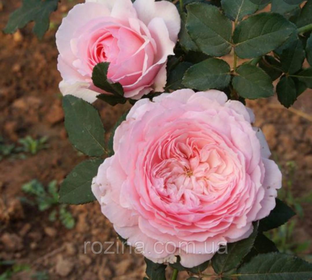 """Саджанці троянди """" Misaki """""""