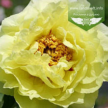 Paeonia suffruticosa 'HaiHuang/High Noon', Півонія деревовидна 'HaiHuang/High Noon',C6 - горщик 6л
