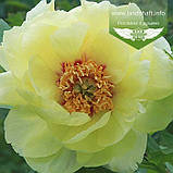 Paeonia suffruticosa 'HaiHuang/High Noon', Півонія деревовидна 'HaiHuang/High Noon',C6 - горщик 6л, фото 3