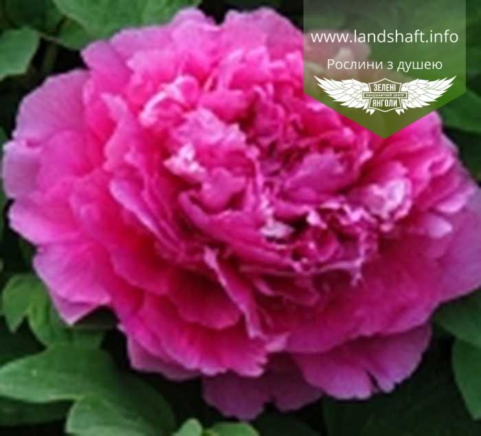 Paeonia suffruticosa 'Lu He Hong / Heze Red, Півонія деревовидна Lu He Hong / Heze Red',C6 - горщик 6л
