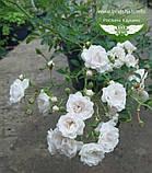 Rosa polyantha 'Fairy', Троянда бордюрна 'Фейрі',C2 - горщик 2л, фото 3