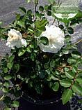 Rosa polyantha 'Fairy', Троянда бордюрна 'Фейрі',C2 - горщик 2л, фото 4
