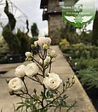 Rosa polyantha 'Fairy', Троянда бордюрна 'Фейрі',C2 - горщик 2л, фото 5