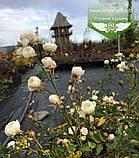 Rosa polyantha 'Fairy', Троянда бордюрна 'Фейрі',C2 - горщик 2л, фото 6