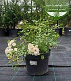 Rosa polyantha 'Fairy', Троянда бордюрна 'Фейрі',C2 - горщик 2л, фото 7