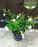 Rosa polyantha 'Fairy', Троянда бордюрна 'Фейрі',C2 - горщик 2л, фото 9