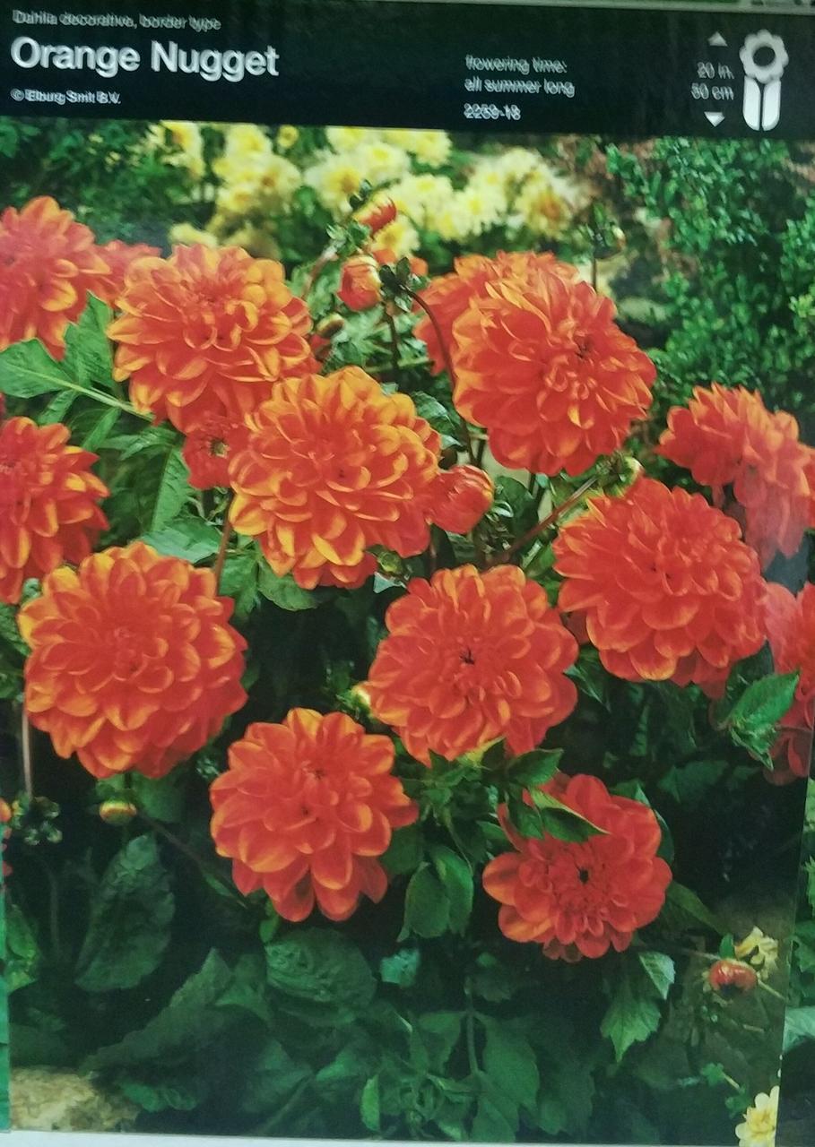 Жоржина Orange Nugget