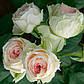 Помпон Флавер Циркус (Pompon Flower Circus ), фото 3