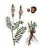 ЕСПАРЦЕТ Мікрозелень , насіння еспарцету органічні для пророщування 100 грам