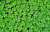 КОНЮШИНА Мікрозелень , насіння конюшини органічні для пророщування 50 грам